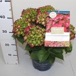 """Hydrangea Macrophylla """"Magical Sapphire""""® boerenhortensia"""