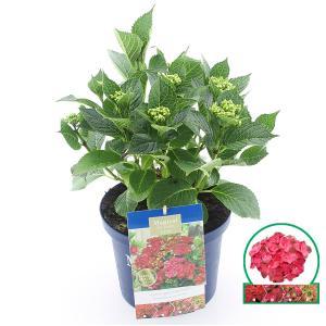 Hydrangea Macrophylla Magical Sapphire® boerenhortensia - 30-40 cm - 1 stuks
