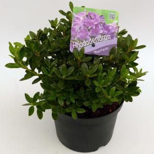 """Dwerg rododendron (Rhododendron """"Moerheim"""") heester"""