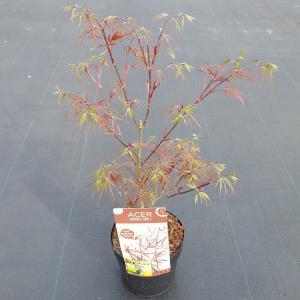 """Japanse esdoorn (Acer Palmatum """"Atrolineare"""")"""