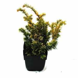 "Taxus (Taxus baccata ""Semperaurea"") conifeer"