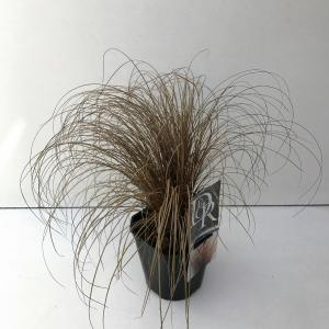 "Zegge (Carex comans ""Bronze Form"") siergras"