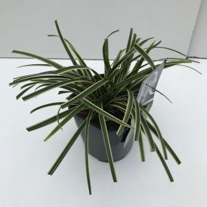 "Zegge (Carex morrowii ""Ice Dance"") siergras"