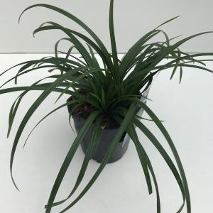 "Zegge (Carex ""Irish Green"") siergras"