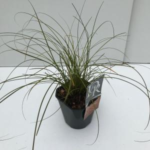 "Zegge (Carex testacea ""Prairie Fire"") siergras"