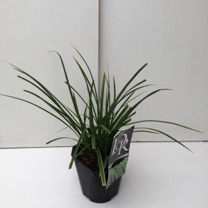 "Zegge (Carex morrowii ""Variegata"") siergras"