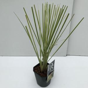 "Dwergpampasgras (Cortaderia selloana ""Mini Gold Pampas"")"