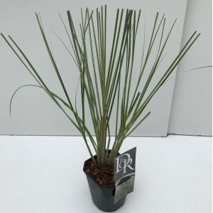 "Dwergpampasgras (Cortaderia selloana ""Mini Silverpampas"") siergras"