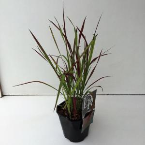 "Japans bloedgras (Imperata cylindrica ""Red Baron"") siergras"