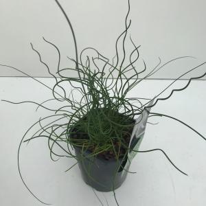 """Krulpitrus (Juncus effusus """"Spiralis"""") siergras"""