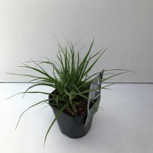 Veldbies (Luzula nivea) siergras