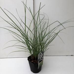"""Prachtriet (Miscanthus sinensis """"Adagio"""") siergras"""