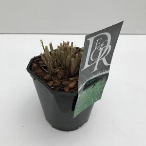 """Prachtriet (Miscanthus sinensis """"Strictus"""") siergras"""