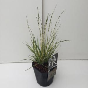 """Bont pijpenstrootje (Molinia caerulea """"Variegata"""") siergras"""