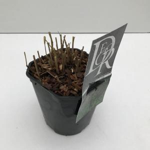 """Vingergras (Panicum virgatum """"Squaw"""") siergras"""