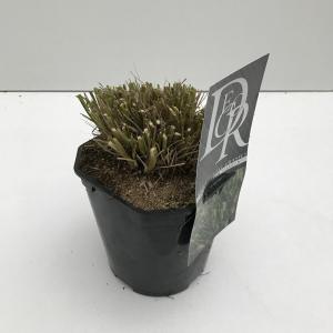 "Lampenpoetsersgras (Pennisetum alopecuroides ""Hameln"") siergras"