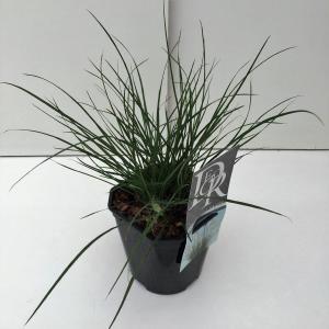 "Lampenpoetsersgras (Pennisetum alopecuroides ""Little Bunny"") siergras"