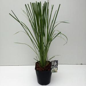 Pampasgras (Cortaderia selloana) siergras