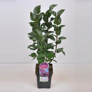 Plantenwinkel.nl Sering (syringa vulgaris Ludwig Späth) - 50-70 cm - 1 stuks