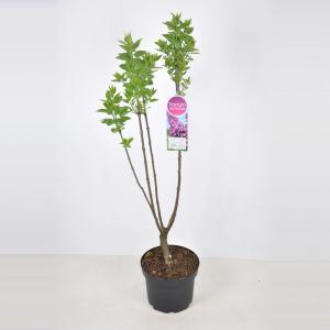 Plantenwinkel.nl Sering (syringa vulgaris Ludwig Späth) - 70-90 cm - 1 stuks