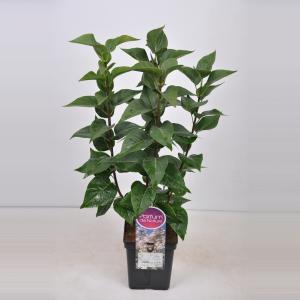 Plantenwinkel.nl Sering (syringa vulgaris Beauty of Moscow) - 50-70 cm - 1 stuks