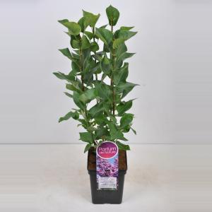 Sering (syringa vulgaris Belle de Nancy)