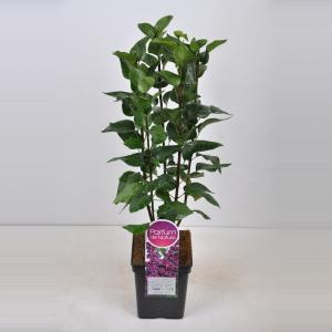 Plantenwinkel.nl Sering (syringa vulgaris Charles Joly) - 50-70 cm - 1 stuks