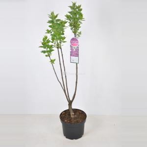 Plantenwinkel.nl Sering (syringa vulgaris Charles Joly) - 70-90 cm - 1 stuks