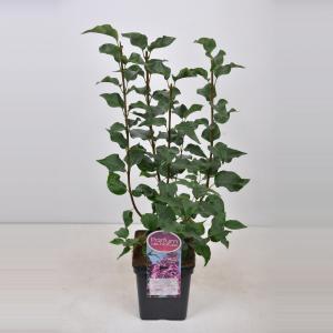 Plantenwinkel.nl Sering (syringa vulgaris hyacinthflora Esther Staley) - 50-70 cm - 1 stuks