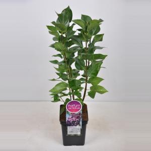 Plantenwinkel.nl Sering (syringa vulgaris Michel Buchner) - 50-70 cm - 1 stuks