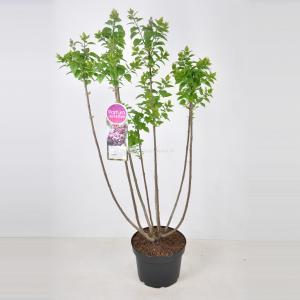Plantenwinkel.nl Sering (syringa vulgaris Michel Buchner) - 70-90 cm - 1 stuks