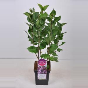 Plantenwinkel.nl Sering (syringa vulgaris Mme Antoine Buchner) - 50-70 cm - 1 stuks