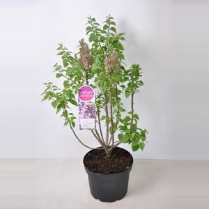 Sering (syringa vulgaris Mme Antoine Buchner) - 80-100 cm - 1 stuks