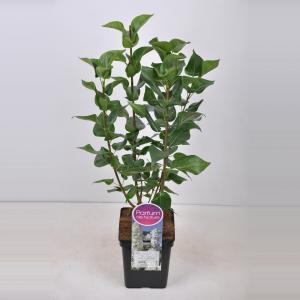 Plantenwinkel.nl Sering (syringa vulgaris Mme Lemoine) - 50-70 cm - 1 stuks