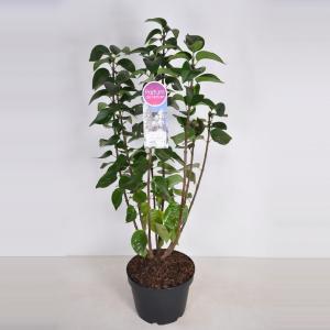 Plantenwinkel.nl Sering (syringa vulgaris Mme Lemoine) - 70-90 cm - 1 stuks