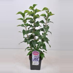 Plantenwinkel.nl Sering (syringa vulgaris Nadezhda) - 50-70 cm - 1 stuks