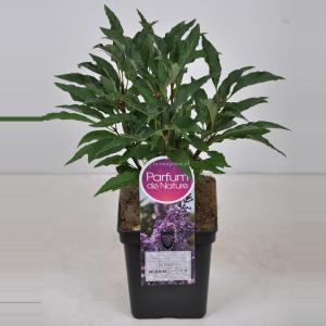 Plantenwinkel.nl Sering (syringa vulgaris Nadezhda) - 80-100 cm - 1 stuks