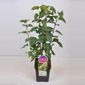 Plantenwinkel.nl Sering (syringa vulgaris Primrose) - 50-70 cm - 1 stuks