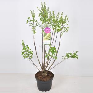 Plantenwinkel.nl Sering (syringa vulgaris Primrose) - 70-90 cm - 1 stuks