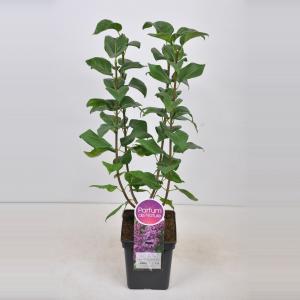 Plantenwinkel.nl Sering (syringa vulgaris Ruhm von Horstenstein) - 50-70 cm - 1 stuks
