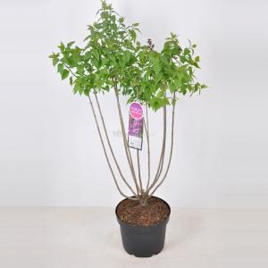Plantenwinkel.nl Sering (syringa vulgaris Ruhm von Horstenstein) - 70-90 cm - 1 stuks