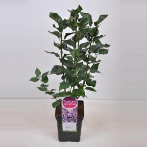Plantenwinkel.nl Sering (syringa vulgaris Sensation) - 50-70 cm - 1 stuks