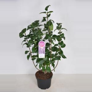 Plantenwinkel.nl Sering (syringa vulgaris Sensation) - 70-90 cm - 1 stuks