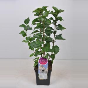Plantenwinkel.nl Sering (syringa vulgaris Souv. d'Alice Harding) - 50-70 cm - 1 stuks