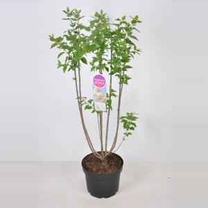 Plantenwinkel.nl Sering (syringa vulgaris Souv. d'Alice Harding) - 70-90 cm - 1 stuks