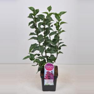 Plantenwinkel.nl Sering (syringa vulgaris Znamya Lenina) - 50-70 cm - 1 stuks