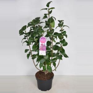Plantenwinkel.nl Sering (syringa vulgaris Znamya Lenina) - 70-90 cm - 1 stuks