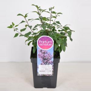 "Sering (syringa chinensis ""Lilac Sunday"")"