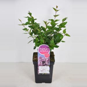 Plantenwinkel.nl Dwergsering (syringa Josee) - 40-60 cm - 1 stuks
