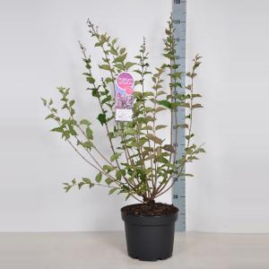 Plantenwinkel.nl Dwergsering (syringa Josee) - 70-90 cm - 1 stuks
